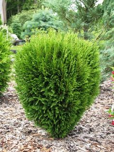 Thuja occidentalis 'Erecta' Thuja Occidentalis, Plants, Shrubs, Trees And Shrubs, Conifers Garden, Conifers, Evergreen, Diy Garden, Garden