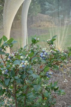 Blueberries- freezing your crop.  »  My Productive Backyard » Learn to Grow your Own Food at Home