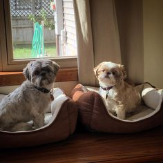 Instagram Shih Tzus … Frank and Beans