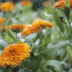 Marigolds germinate two to three weeks after seeding.
