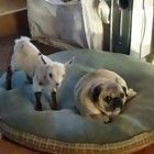 A dancing baby goat steals the dog bed...