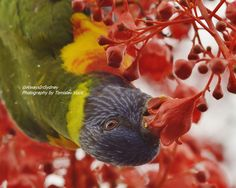 This is an image of a rain flecked Rainbow Lorikeet eating nectar from a flowering Illawarra Flame Tree. Photographed in Sydney. Flame Tree, Rainbow, Sydney, Australia, Image, Rain Bow, Rainbows