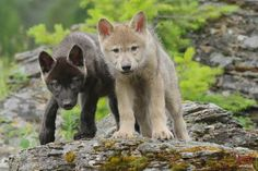 wolf pups spirit mythical black wild animal pack the wolves quotes white timber lone canis lupus snow solitude lobo friendship canine nature grey majestic abstract wisdom beautiful arctic howling wolfrunning winter howl dog