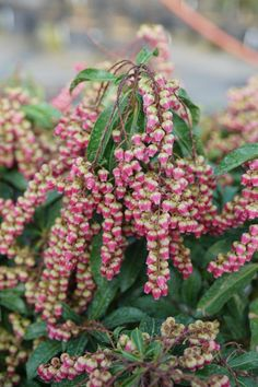 These gorgeous new varieties of bushes (available in 2020) will definitely add some beautiful flowers to your garden next summer. #fromhousetohome #gardenideas #bushes #plants #shrubs #shadeperennials