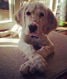 Gunster the English Setter-Darling!!! He's really paying attention!