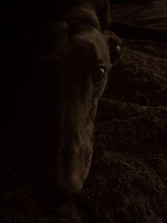 Black greyhounds!  Love them!