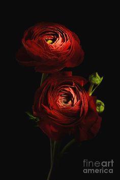 Ranunculus, Fine Art, Red, Movie Posters, Persian Buttercup, Film Poster, Visual Arts, Billboard, Film Posters