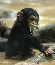 Omg Cute Baby Chimp