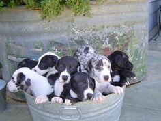 Who wouldn't love a bucket of Dane puppies?!