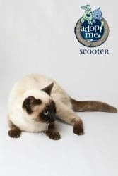 Scooter is an adoptable Siamese Cat in Knoxville, TN. To find out if this pet is still available for adoption, please call 865-215-6599. Please have pet name, shelter ID number, and description handy ...
