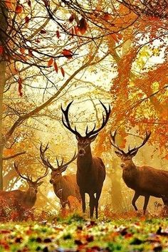 Stags in Autumn I believe these are Roe bucks. (Roe is red..the red deer) usually found in the forests of England.