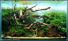 this aquarium wood is an excellent choice for aquascaping You will receive a piece similar to these images which display various shapes this wood can take We only send hand picked pieces that look great Freshwater Plants, Freshwater Aquarium, Live Aquarium Plants, Planted Aquarium, Nature Aquarium, Aquatic Arts, Life Aquatic, Aquarium Driftwood, Aquarium Landscape