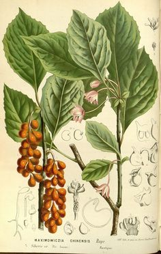 How To Use Schisandra To Effectively Cleanse The Liver   The Herbal Academy   Learn how to use schisandra to support and cleanse your liver.