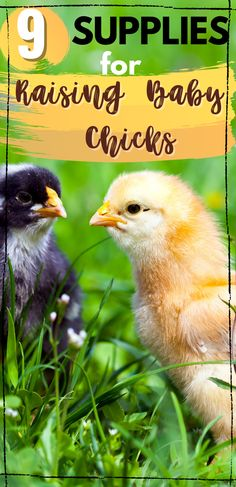 Do you want to raise baby chicks in your backyard? Raising baby chicks is so easy, but you do need to get some supplies for baby chicks. Make sure you gather these before you get your chicks! #RaisingChicks #BackyardChickens