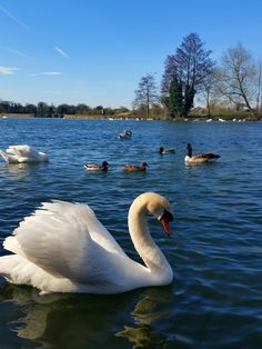 One among the many swans along the Thames River in Windsor, Berkshire