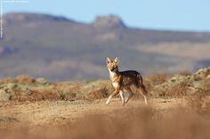 Ethiopian Wolf, Web Valley