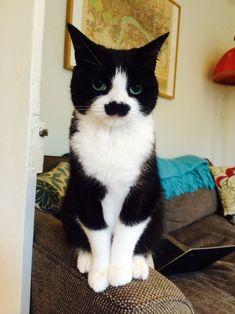 Buckingham's cousin, Hercat Poirot.