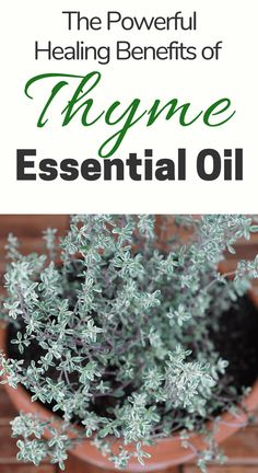 Thyme essential oil has many benefits and uses backed by science and ancient history. Check out all the ways that thyme oil benefits your health and wellness routines. Thyme Essential Oil Uses, Doterra Essential Oils, Young Living Essential Oils, Thyme Oil Benefits, Easential Oils, Thyme Recipes, Pure Oils, Natural Cures, How To Dry Basil