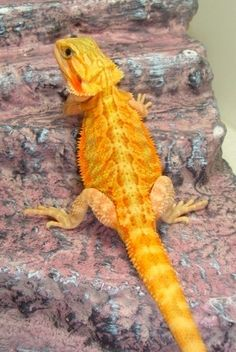 Orange Translucent Male Beardie