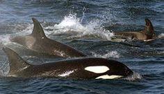Killer whales in Lofoten, Norway - Photo: John Stenersen