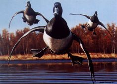 Waterfowl Paintings   Ring-necked Ducks - Indiana 2000 Duck Stamp
