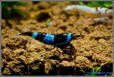 Blue Panda Shrimp (Aquarium)