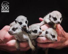 Mini meerkats. #cute ATTACKOFTHECUTE.COM