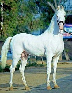 Beautiful Horses, Animals Beautiful, Marwari Horses, American Saddlebred, Krishna Painting, White Horses, Horse Breeds, Painting Techniques, Animal Kingdom