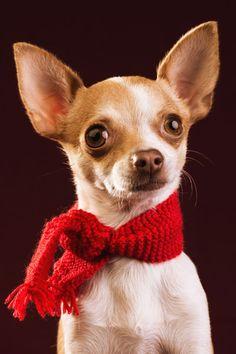 ¡Qué calentita estoy! Fotografía de mascotas de una Chihuahua. Fotografía de Mira al pajarito