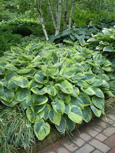 Heart-shaped Hosta leaves make beautiful garden borders.
