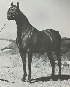 Bay-Abi. AHR*12335 Bred by Loyd F. Silva of Grants Pass, Oregon. Bought as a 2YO for $1,200 at auction by young Sheila Varian. Sire of two hundred seventy-five registered purebred Arabian foals. Legion of Merit award winner. 1964 Scottsdale Reserve Champion English Pleasure. 1964 U.S. National Top Ten English Pleasure. 1964 U.S. National Top Ten Western Pleasure. 1962 U.S. National Champion Stallion at Halter. Aragon's ggggg-grandsire