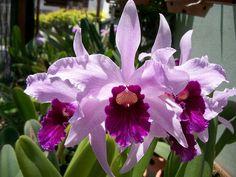 Laelia purpurata var. roxo-violeta