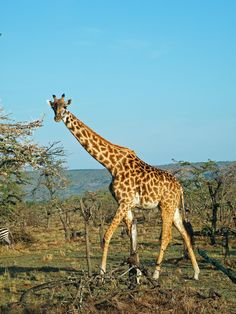 its funny how little effort the government put into making giraffes look real Giraffe Birthday, Okapi, Ciri, Predator, Google Images, Habitats, Safari, Public, Animals