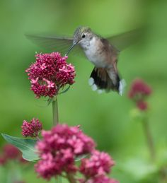 Attracting Hummingbirds to the Backyard Garden, shown here with Red Valerian.  The hummingbird reminds me of my mom.