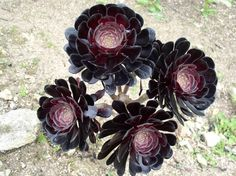 Aeonium x 'Zwartkopf' - one of my favs (looks like black roses)