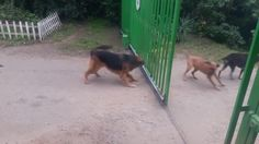 A Group of Dogs Barking Furiously Through a Gate Prove They're Not So Tough Once It Slides Open Funny Animal Videos, Funny Animals, Dog Videos, Dog Control, Group Of Dogs, Dog Fighting, Dog Barking, Funny People, Funny Kids