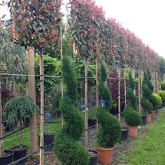 Photinia red robin pleached: A popular and versatile plant, Photinia can be used as a pleached tree, standard or half standard, mature shrub or hedging. Backyard Garden Design, Backyard Retreat, Backyard Fences, Garden Landscaping, Red Robin Hedge, Red Robin Tree, Small Gardens, Back Gardens, Photinia Red Robin