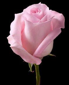 Blooming rose - My site Beautiful Rose Flowers, Beautiful Flowers Wallpapers, Flowers Nature, Exotic Flowers, Amazing Flowers, My Flower, Pretty Flowers, Beautiful Beach, Purple Roses