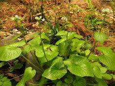 Wasabi (Wasabi japonica) condiment japonais : plantation, culture, entretien