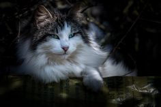 https://flic.kr/p/S9zxc1 | Ritratto di gatto