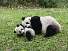 https://flic.kr/p/GbAtyE | Motherly Love | Mei Xiang and her male cub Bei Bei; Smithsonian's National Zoo, Washington DC [DSC_2355]