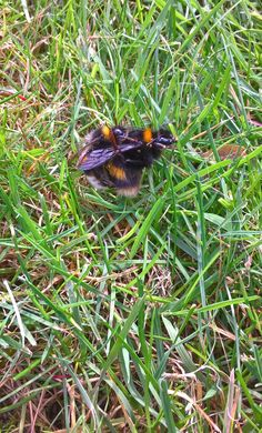 Hi Folks , I disturbed this mating pair of Bombus terrestris today , its a very early find for mating but its probably come from an over winter colony. On another note I am sorry I havent been in t… Gifts For Your Girlfriend, Bee, Wordpress, March, Butterfly, Winter, Board, Garden, Winter Time