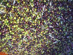 Production d'huile d'Olive à Jouques