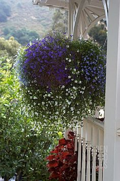 Lobelia and Bacopa hanging basket. Love the colors and delicately fine blooms