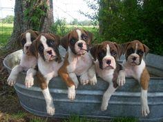 Sweet Boxer Pups