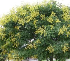 The goldenrain tree (Koelreuteria paniculata) makes a great street tree because of its good form and tolerance of heat and drought, pollution, acid or alkaline soils. But it's in midsummer when this attractive tree really shines, its canopy literally covered in dangling yellow flowers. After the flowers come green papery pods, which unfortunately turn unkempt when they age to brown in late summer. Mature height is usually 30 to 40 feet high and wide. USDA Zones 5 to 8.