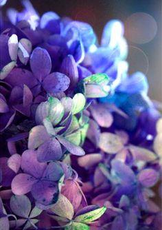 blue & purple hydrangea by moonlightphotography on Etsy