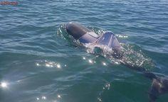 Autoridades temem pela vida de golfinho flagrado vestindo uma camisa, na Austrália