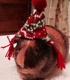 Cute holiday guinea pig!