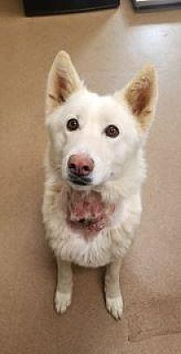 "1/1/18 APPLE VALLEY, CA PIPER-ID #173407 -SPAYED-FEMALE-2-YEAR-HUSKY MIX Medium Build,53-LBS. #173407. The Scar on My Throat Is from an Embedded Collar Which Was Removed. My Hair Will Grow Back in No Time at All & This Ugly Duckling Will Be Beautiful Once Again. Available For Adoption On December 27, 2017."" <><><><><><><Apple Valley, California Phone: 1-(760)-240-7000 ext: 5"
